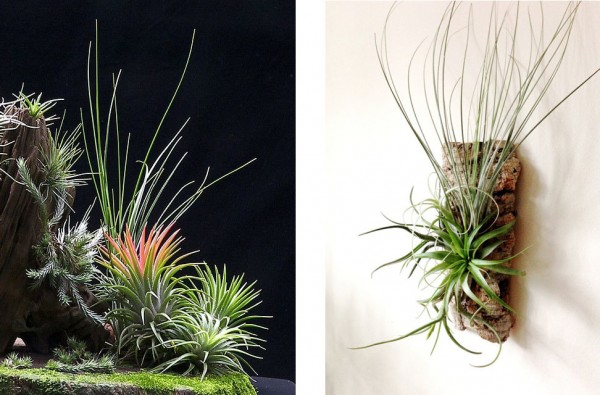 提供:http://a-t-g.jp/air-plants-2381#page5