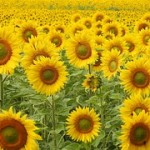 sunflower-1497365__180