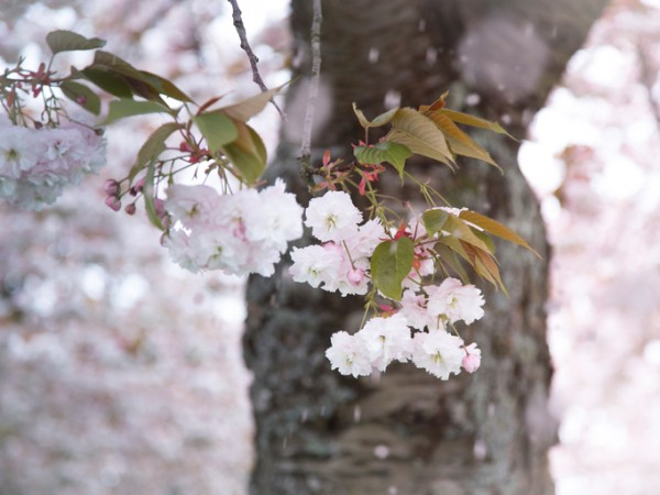 Fragile petals of Cherry blossom are falling down from the tree taken by the wind. Photograph is taken with the shallow depth of field focusing on a few buds. The trunk of the tree and fallen petals are not in focus
