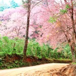 Pink cherry blooming in spring landscape background