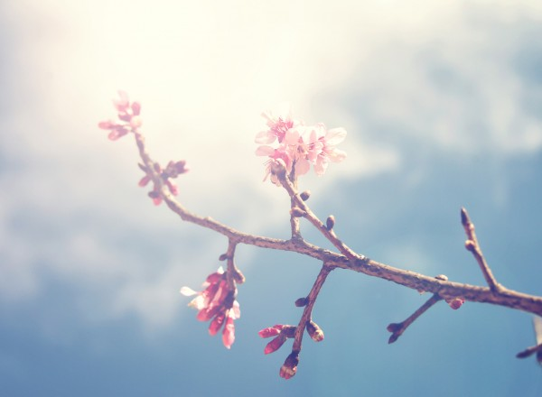 Soft focus of spring sakura pink flower with sun sky vintage color toned abstract nature background, instagram filter