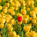 Single red tulup in a field of yellow tulips