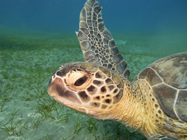 green sea turtle ascending from sandy sea bottom