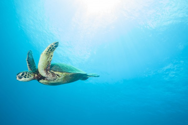 Sea Turtle swimming in clear blue Hawaiian ocean