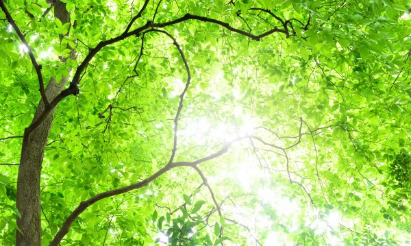 Deep Forest Tree. Fresh green leaves. Japanese forest. Symbolic tree of ecology.